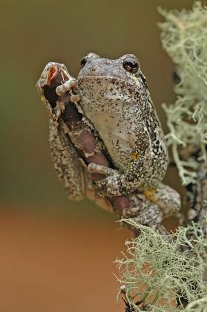 versicolor: Grey treefrog  Hyla versicolor