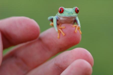 callidryas: Red-eyed treefrog  Agalychnis callidryas
