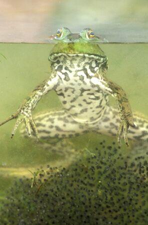 緑のカエル (Rana clamitans) 写真素材