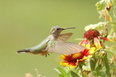 Broad-tailed hummingbird female (Selasphorus platycercus) photo