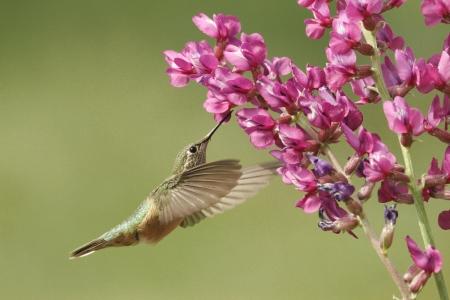 humming: Broad-tailed hummingbird female (Selasphorus platycercus) Stock Photo