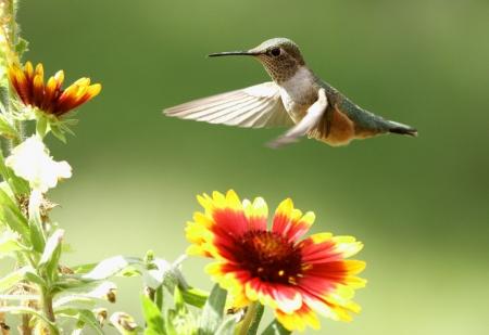 Breed-de steel verwijderde kolibrie vrouwelijke (Selasphorus platycercus)