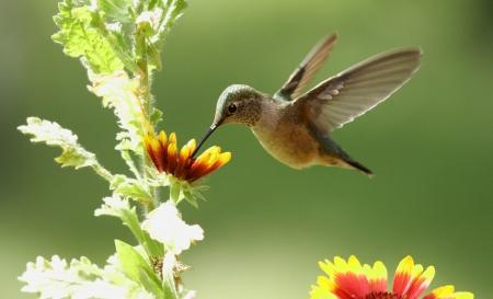 Broad-tailed hummingbird female (Selasphorus platycercus) Standard-Bild