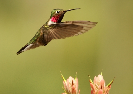 Broad-tailed hummingbird male (Selasphorus platycercus) photo