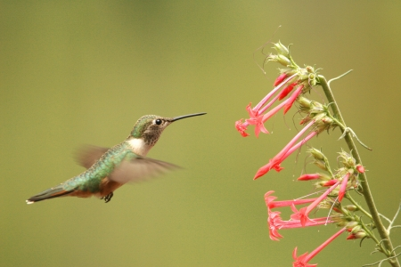 Broad-tailed hummingbird female (Selasphorus platycercus) Stok Fotoğraf