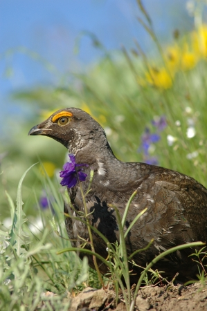 grouse: Blue grouse (Dendragapus obscurus)