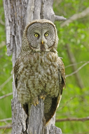 gray: Great Gray Owl (Strix nebulosa)