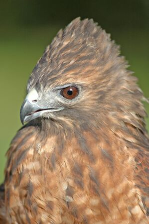 Red-tailed Hawk (Buteo jamaicensis) photo