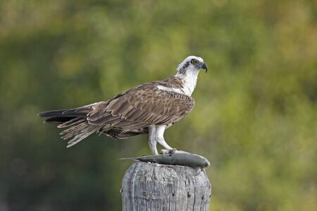 osprey: Osprey (Pandion haliaetus)