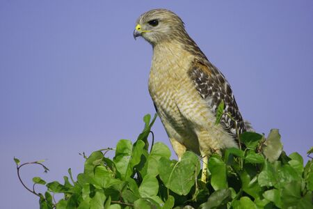shouldered: Red-shouldered Hawk  Buteo lineatus