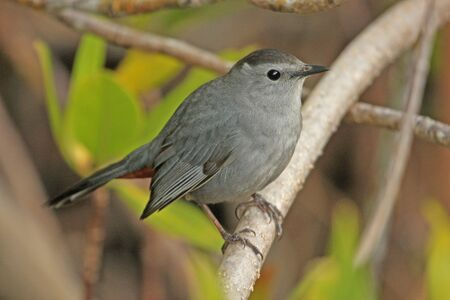 gray catbird: Gray Catbird  Dumetella carolinensis  Stock Photo