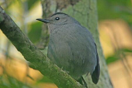 gray catbird: Gray Catbird (Dumetella carolinensis)