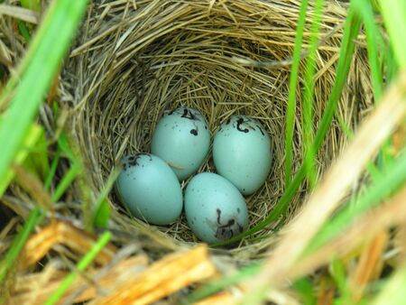 Nest of Yellow-headed Blackbird  Xanthocephalus xanthocephalus  Stock Photo - 17079413