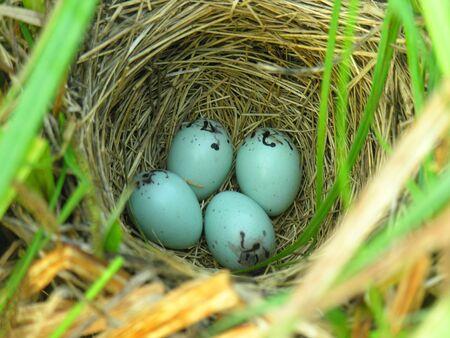 Nest of Yellow-headed Blackbird  Xanthocephalus xanthocephalus Stock Photo - 17079413