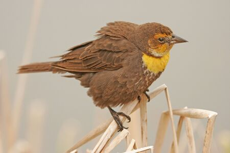 Yellow-headed Blackbird female (Xanthocephalus xanthocephalus) Stock Photo - 17078879