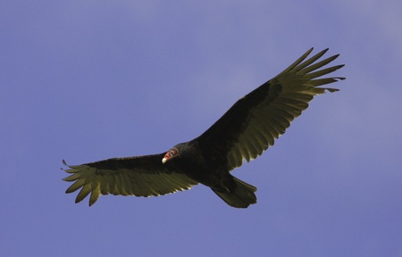 the aura: Turkey Vulture  Cathartes aura  flying in blue sky