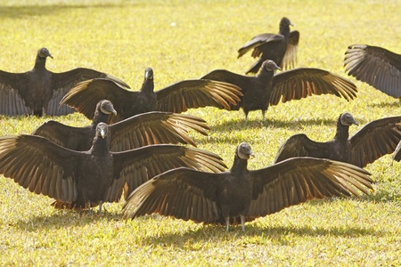 the aura: Group of Turkey Vultures  Cathartes aura  in a field