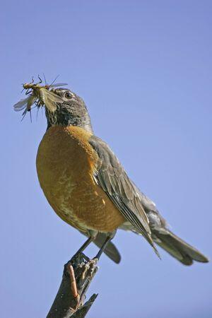 turdus: American Robin (Turdus migratorius)