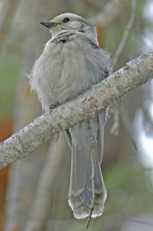 canadensis: Gray Jay (Perisoreus canadensis) Stock Photo