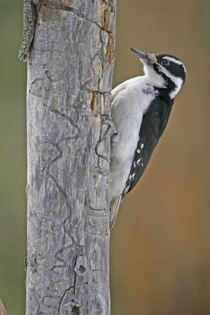 downy: Downy Woodpecker female (Picoides pubescens) Stock Photo