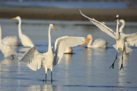 and egrets: Great Egrets (Ardea alba) in water Stock Photo