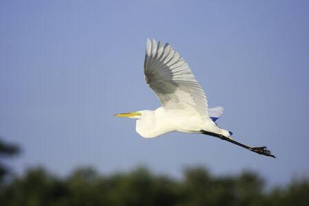 Great Egret (Ardea alba) flying photo