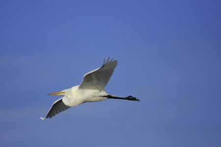 Great Egret (Ardea alba) flying photo