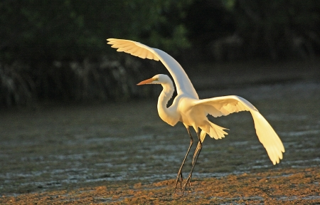 alba: Great Egret (Ardea alba) flying