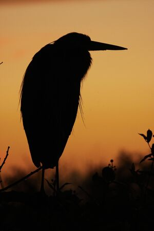 Great Blue Heron (Ardea herodias) silhouette at sunrise photo