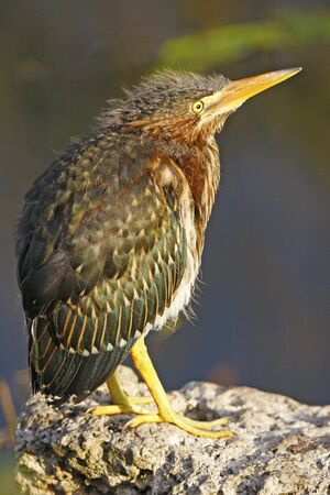Green Heron (Butorides virescens) Stock Photo - 17352685