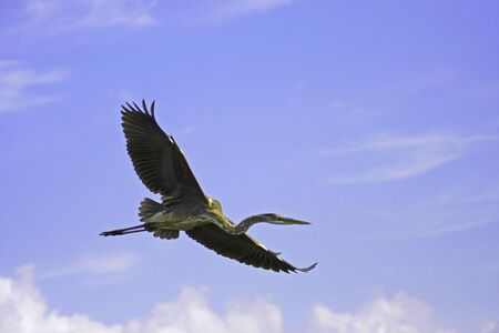 Great Blue Heron (Ardea herodias) flying photo