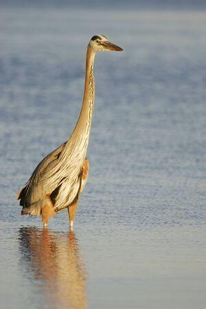 herodias: Great Blue Heron (Ardea herodias) Stock Photo