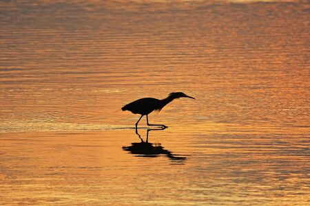 Silhouetted Reddish Egret (Egretta rufescens) at sunrise photo