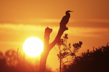 Silhouetted Anhinga (Anhinga anhinga) at sunrise Stock Photo - 17352340