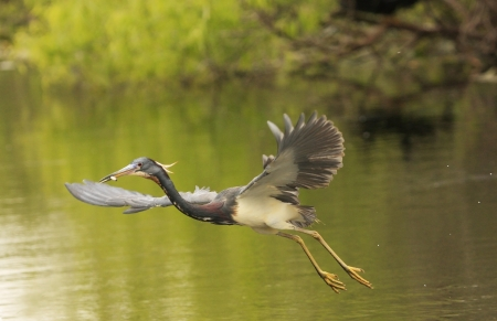 wading: Tricolored Heron (Egretta tricolor) flying