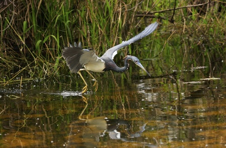 Tricolored Heron (Egretta tricolor) flying Stock Photo - 17352566