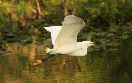 wading: Snowy Egret (Egretta thula) flying