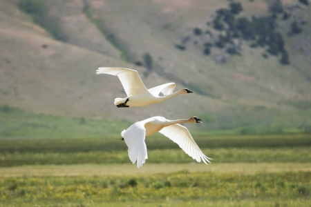 Trumpeter Swans (Cygnus buccinator) flying photo