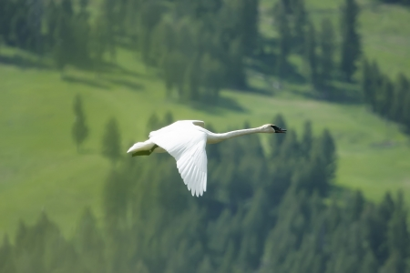 Trumpeter Swan (Cygnus buccinator) flying photo