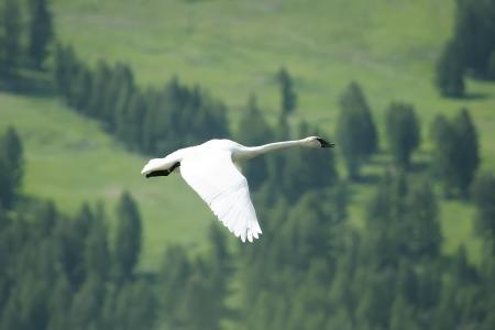 cygnus buccinator: Trumpeter Swan (Cygnus buccinator) flying
