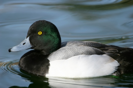 scaup: Greater Scaup (Aythya marila) male Stock Photo