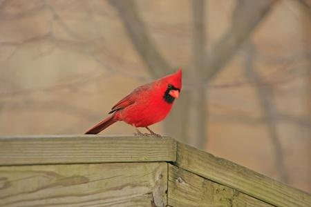 Northern Cardinal (Cardinalis cardinalis) photo