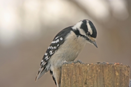downy: Downy Woodpecker (Picoides pubescens) female