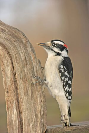 downy: Downy Woodpecker (Picoides pubescens) male Stock Photo