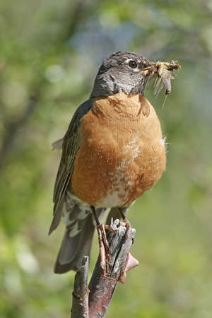 turdus: American Robin (Turdus migratorius) with insects in his beak Stock Photo