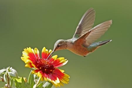 humming: Broad-tailed hummingbird femenino (Selasphorus platycercus) alimentaci�n
