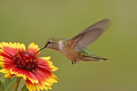 Breed-tailed kolibrie vrouwelijke (Selasphorus platycercus) voeden Stockfoto