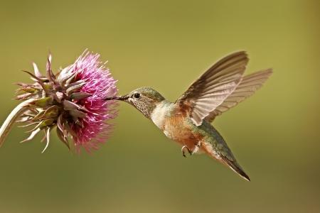 Broad-tailed hummingbird female (Selasphorus platycercus) feeding