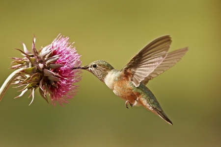 Broad-tailed hummingbird female (Selasphorus platycercus) feeding photo