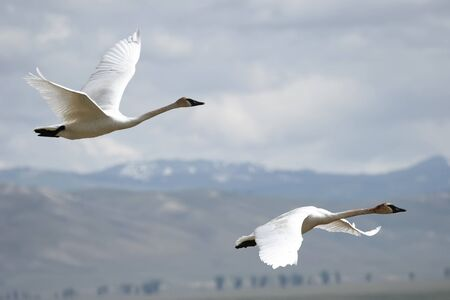 flying bird: Trumpeter Swans (Cygnus buccinator) flying